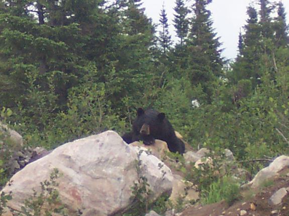 bear on rock